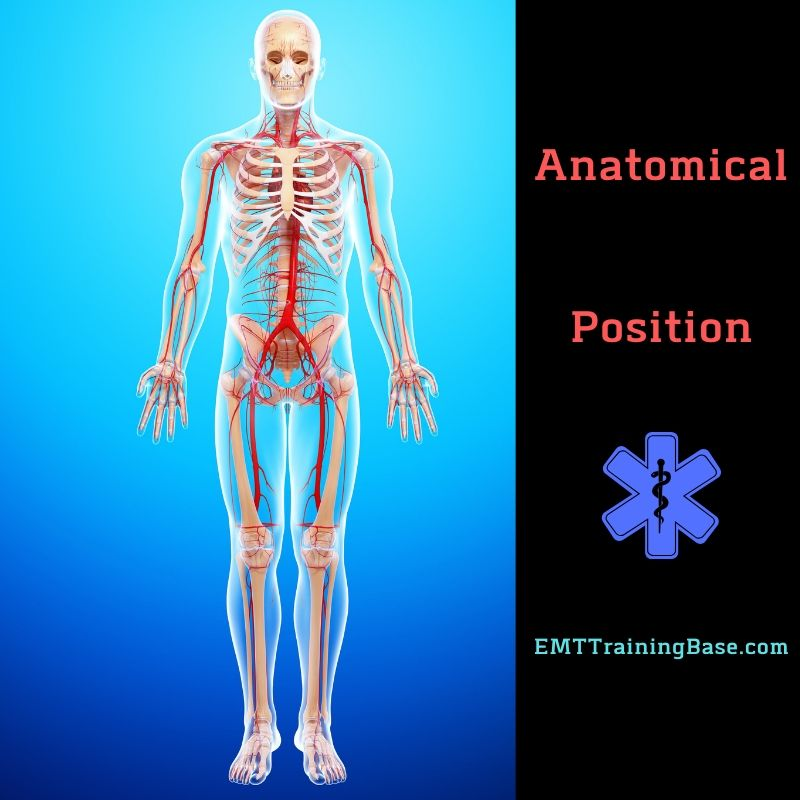 What Is Anatomical Position Image