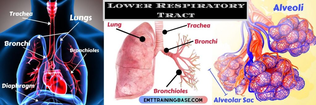 Structure of Respiratory System